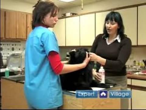 Acil Köpek Sağlık: Köpek Kulak Enfeksiyonları Tedavisi Nasıl