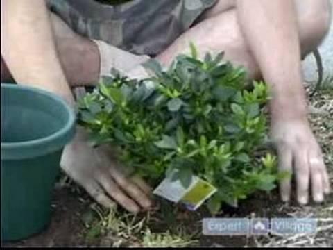 Nasıl Azaleas Bakımı: Azaleas Dikim