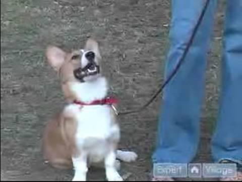 Nasıl Zor Köpek Yetiştirmek: Köpek İtaat Kullanarak Ve Eğitim Oturmak Bir Galce Corgi Öğretmek