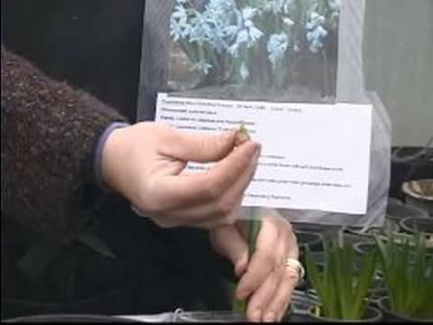 Senin İçin Nasıl Sağ Bahar Çiçek Ampul: Nasıl Puschkinia Ampuller Pick
