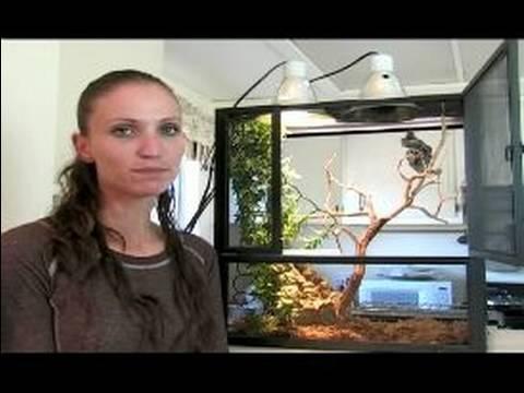 Bukalemun Evcil Hayvan Olarak Örtülü: Eggbound Kadın Nasıl Örtülü Bukalemun