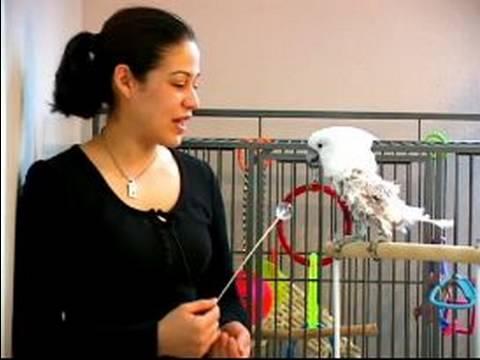 Papağan Eğitmek İçin Nasıl : Papağanlar İçin Eğitim Oyunları