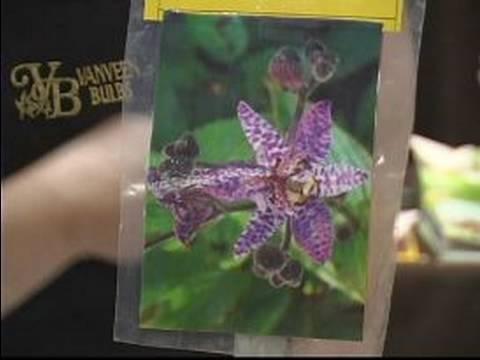 Sonbaharda Çiçek Açan Ampuller Almak Nasıl: Tricyrtis Sonbahar Ampuller Dikim