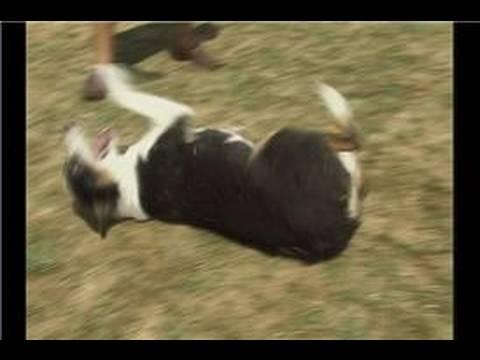 Köpek Püf Noktaları: Yuvarlanmak : Köpek Hileci: Rolling Over Ve Yaralanma