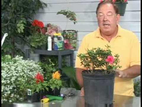 Bitki Bakımı Bahçe : Açelya Bitkisi Bakımı