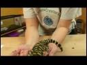 Sürüngenler, Amfibiler, Omurgasızlar Ve Küçük Pets: Kaplan Salamander Gerçekler