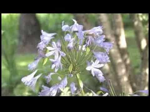 İpuçları Bahçe: Lily-Of--Nil (Agapanthus'tan Almıştır) Büyümeye Nasıl