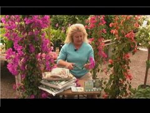 Begonvil Bitki Bakımı : Yayılıyor Köyün