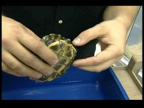 Nasıl Bir Kaplumbağa Bakımı İçin Bir Evcil Hayvan Kaplumbağa Seçimi