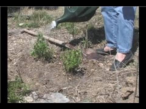 Salvia Sage Dikim : Sulama Salvia Bitkiler