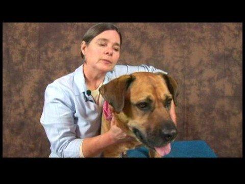 Köpek Acupressure İçin Geri Sorunlar: Köpek Acupressure Oturumlarını Bitirme