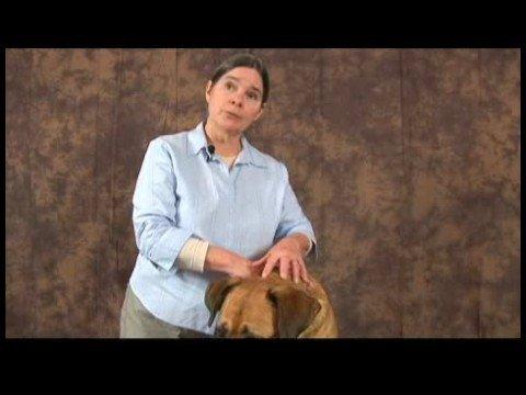 Romatizmalı Köpekler İçin Akupunktur : Köpek Akupunktur Meridyenleri