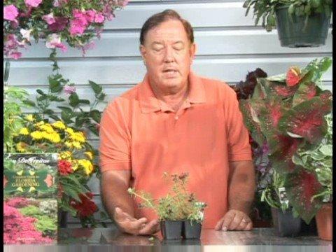 Çiçekli Bitkiler Büyüyen: Portulaca Bitki Yetiştirme