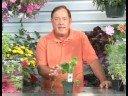 Çiçekli Bitkiler Büyüyen: Kuş Yuvası Fern Bitki Yetiştirme