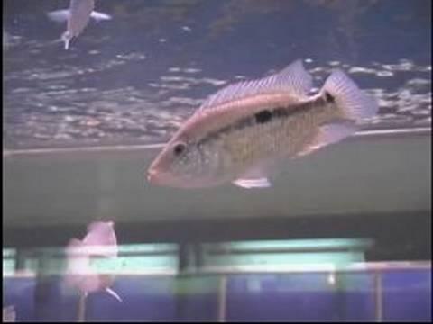 Akvaryum Balık Satın Almak İçin Nasıl : Evcil Hayvan Balık Birbirinden Güvende Tutmak İçin Nasıl