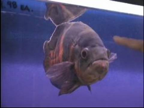 Akvaryum Balık Satın Almak İçin Nasıl : Hangi Tür Hayvan Balık Uyumlu Mu?