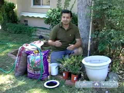 Meksika Heather Büyümeye Nasıl: Malzemeleri Ve Araçları Meksika Heather Büyüyen: Ev Bahçe İpuçları Ve Tavsiyeler