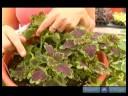 İpucu Kupürlerinden Ev Bitkileri Büyümeye Nasıl : Bitki Ucu Kesme Nasıl