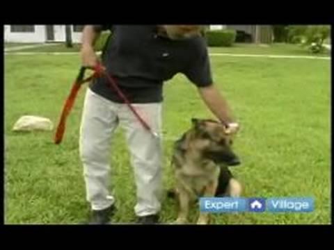 Temel Köpek Eğitim Teknikleri: Köpek İtaat Terbiye Topuk Komutu