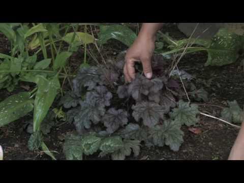 Mercan Çan (Heuchera)Büyümek Nasıl Bitki Bakımı İpuçları :