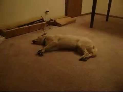 Bizkit Uyku Köpek Yürüyen