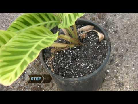 Nasıl Ölmek Üzere Olan Bir Bitki Canlandırmak İçin