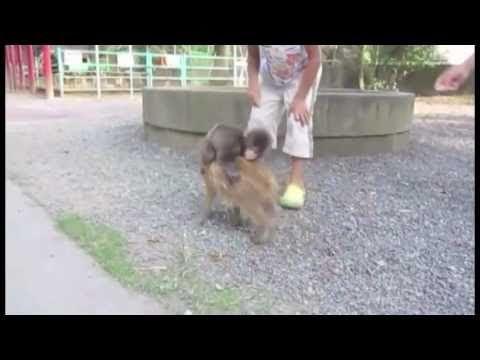 Bebek Maymun (Geriye Doğru Bir Domuz Üzerinde Gidiyor) - Savuşturma Gripp