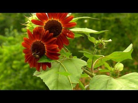 Kendi Sebzeler Ve Ayçiçeği Yetiştirme | S. Allen Smith Klasikleri