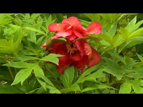 Nasıl Bir Şakayık Bahçe Oluşturmak İçin | S. Allen Smith Klasikleri