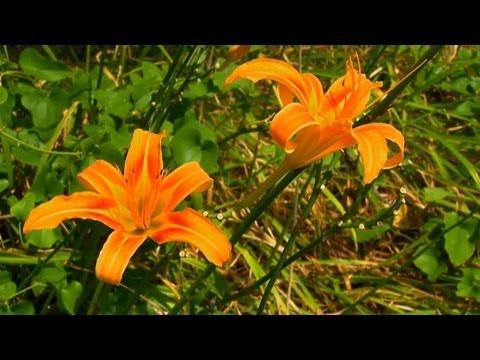 Tek İhtiyacınız Biliyorum Hakkında Daylillies Ve Nergis | S. Allen Smith Klasikleri