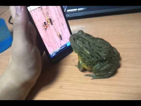 Afrika Bull Frog Karınca Kırıcı