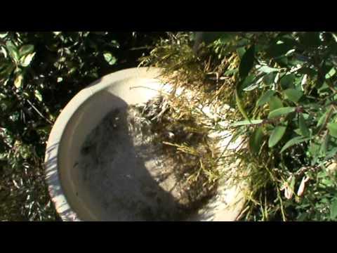 Nasıl Bir Kuş Banyosu Doldurmak İçin