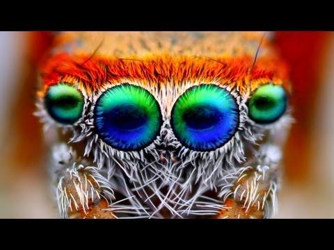 Saitis Barbipes - En Güzel Atlama Örümcek
