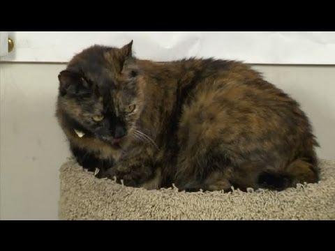 Kedi Yeni Kedi İle Mücadele: Saldırgan Davranışlarını Kontrol Etmeyi : Kedi Bakım İpuçları