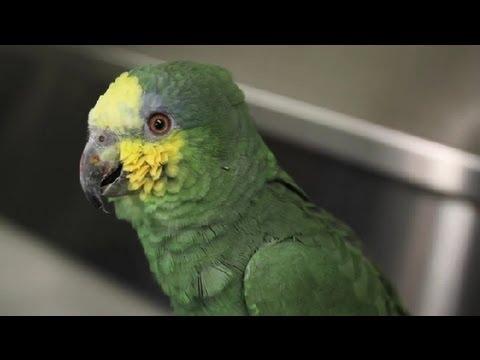 Nasıl Anlaşılır Bir Kuş Olduğunu Susuz Eğer: Egzotik Pets