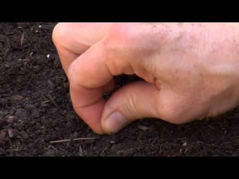 Hardal Yeşilliği Tohumlarından Bitki Nasıl: Kentsel Bahçe