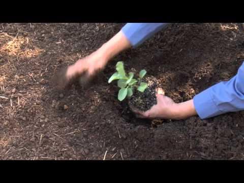 Nasıl Karnabahar Nakli: Kentsel Bahçe