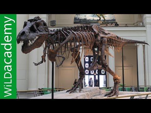 Dinozor Fight - Sue Dinozor Hikayesi